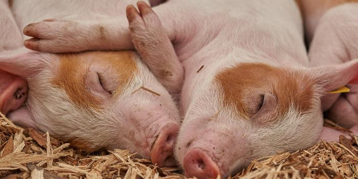 子豚の寝姿